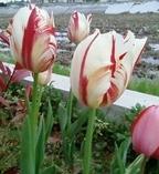 Tulip_2_3